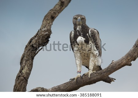 Close up photo of largest african eagle, Martial eagle, Polemaetus bellicosus perched on dead tree with full crop, staring directly at camera against blue sky. Kruger national park, South Africa. - stock photo