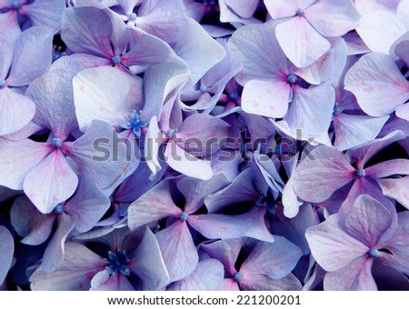 Close up photo of purple flower of a hydrangea - stock photo