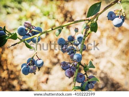 Close up photo of ripe blackberries. Seasonal natural scene. Fruit picking. - stock photo