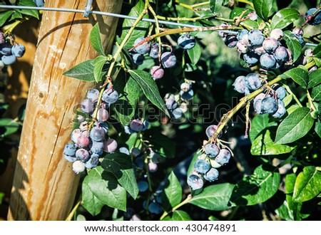 Close up photo of ripe blackberries. Seasonal natural scene. Fruit picking. Orchard. - stock photo