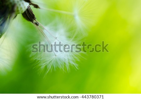 Close-up photo of ripe dandelion. Green blurry background.