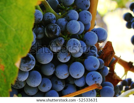 Close up photo of ripened piont grigio grapes in the Yarra Valley Australia - stock photo