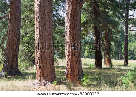 Close-up photo of several trees in Yosemite; USA - stock photo