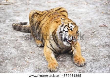 Close up photo of siberian tiger preying. - stock photo