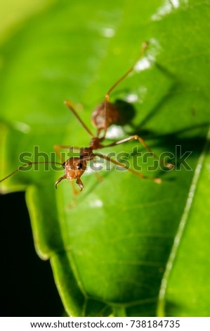 Close up photo of single red ant building its nest with green leaves and black background, concept of hard working.