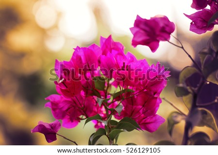 Close up photo of the beautiful pink bougainvillea
