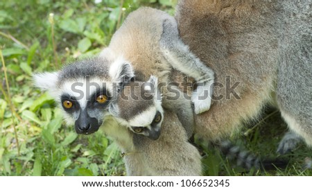 close-up photo of the lemur family in the Budapest Zoo - stock photo