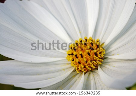 close up photo of the white cosmos flower show the anther  - stock photo