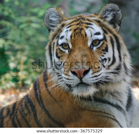 close up photo of tiger - stock photo