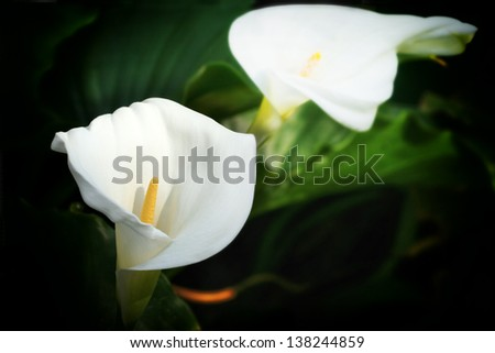 Close up photo of two flowers, white calla lilies with blurred green leafs in back - stock photo