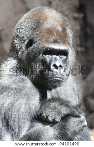 close up photo portrait  of  very serious and calm  gorilla monkey sitting in the zoo.