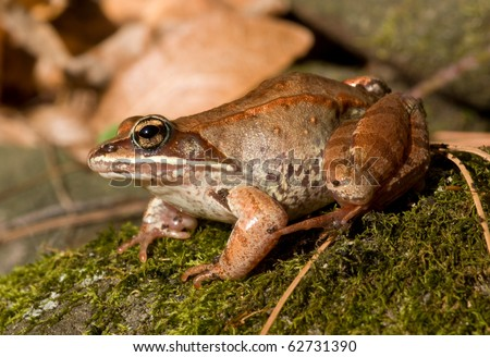 Close-up photograph of a Wood Frog in its natural habitat in a woodland in the midwest. - stock photo