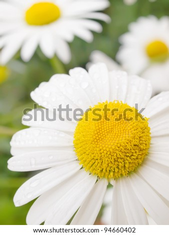 Close-up photograph of chamomile with dew drops