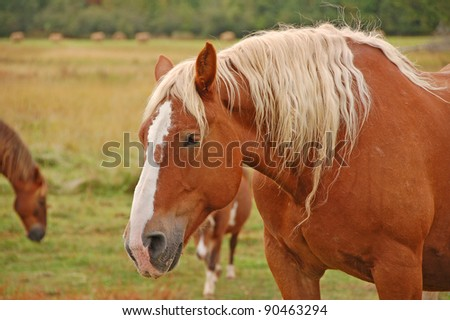 Close-up photograph of the head of a strong stock horse in an upper midwestern autumn pasture.