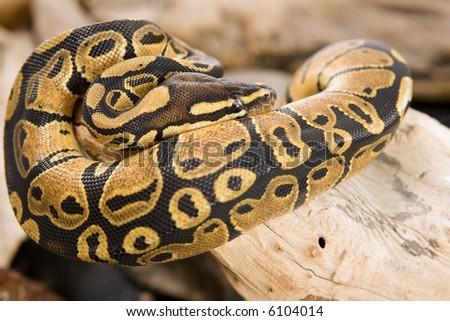 Close up photos of ball python - stock photo