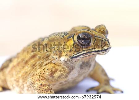 Close-up photos toad - stock photo
