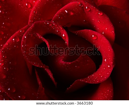 Close-up picture of a beautiful red rose with water drops - stock photo
