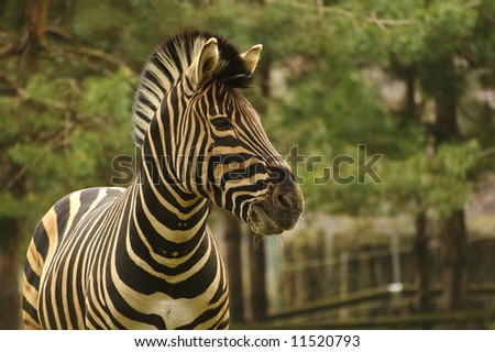 Close up picture of a beautiful zebra. - stock photo