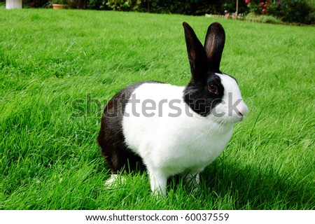 Close up picture of a black and white rabbit. - stock photo
