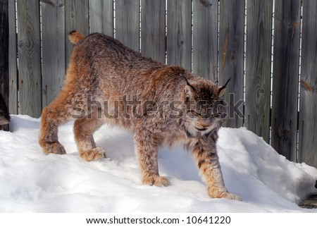 Close-up picture of a canada Lynx in captivity