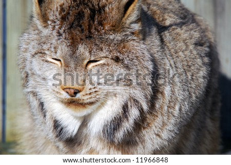Close-up picture of a canada Lynx in captivity - stock photo