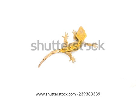 Close up picture of a crested gecko - stock photo