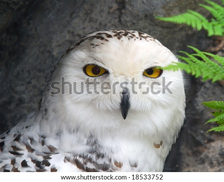 Close-up picture of a great snow owl bird - stock photo
