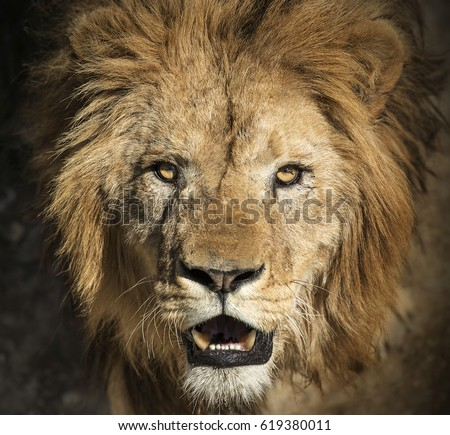 Close-up picture of a lion's head