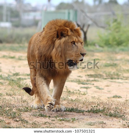 Close Up picture of a male lion - stock photo