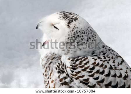 Close-up picture of a male Snowy Owl - stock photo