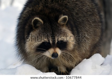 Close-up picture of a Raccoon in Winter