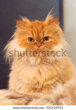 close up picture of a red persian cat - stock photo