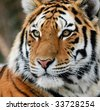 Close-up picture of a Siberian Tiger on a cold Winter day - stock photo