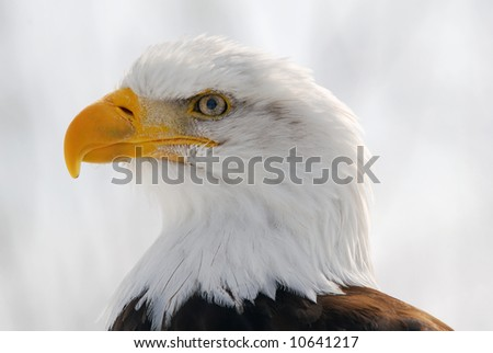 Close-up picture of an American Bald Eagle - stock photo