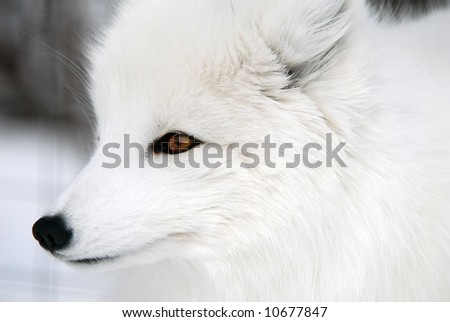 Close-up picture of an Arctic Fox - stock photo