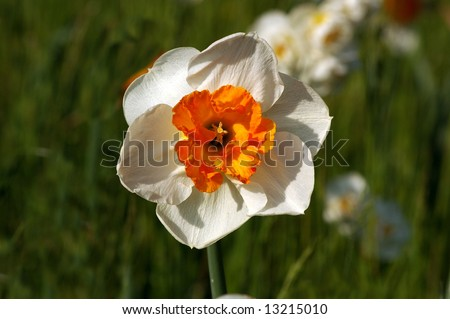 Close up picture of beautiful white daffodil (narcis, narcissus) - stock photo