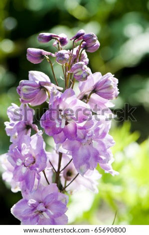 Close-up picture of Delphinium flowers, shallow DOF - stock photo