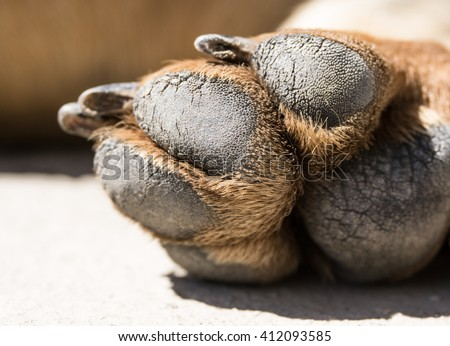 Close up picture of dog paw. Brown dachshund paw - stock photo