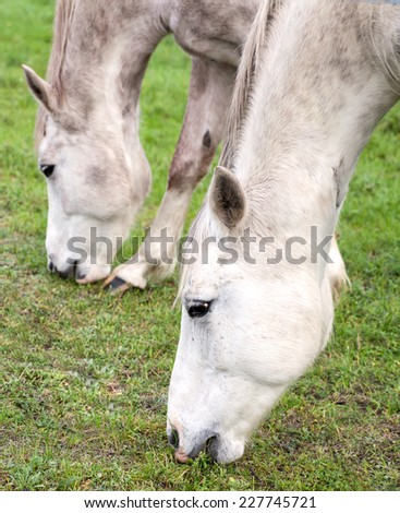 Close up picture of horses grazing on grass. - stock photo