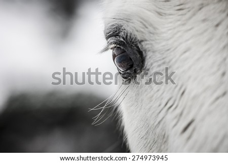 Close-up picture of the eye if a white horse. - stock photo
