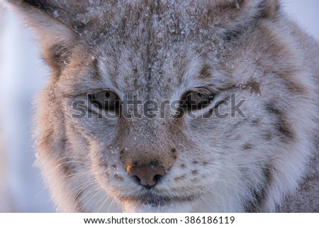 Close up picture of the face of a young lynx in the cold winter in Norway. A Lynx lynx, Eurasian lynx with spots. Cat lynx with spots. - stock photo