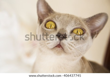 Close-up picture of young Burmese cat face - stock photo