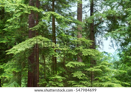 Close-up picture showing lush green trees in the middle of a forest in Vancouver, Canada