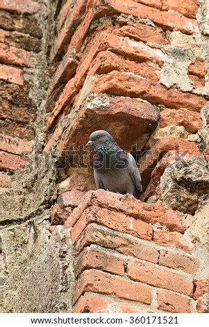 Close-up Pigeon Roosting In Red Brick. - stock photo