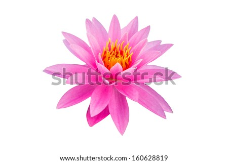 Close up pink color blooming water lily or lotus flower  - stock photo