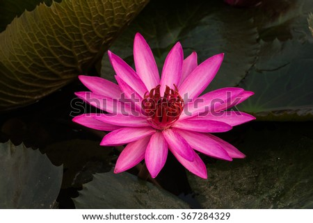 close up pink color fresh lotus blossom or water lily flower blooming on pond background, Nymphaeaceae - stock photo