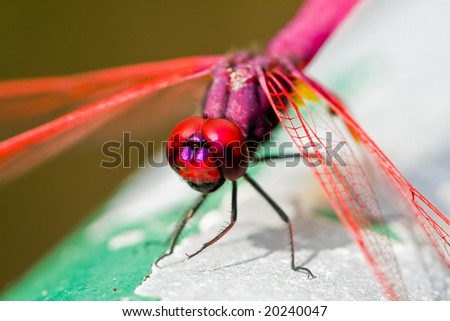close up pink dragon fly - stock photo