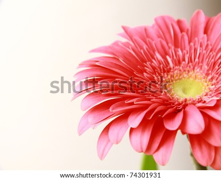 Close-up pink gerbera flower, isolated on white - stock photo