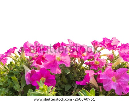 Close up pink petunia flower isolated on white background - stock photo