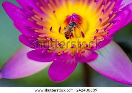 Close -up pink water lily with bee on pond - stock photo